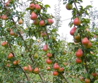 Branchless pear trees offer new opportunities