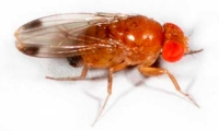 Starting small—spotted wing drosophila (part 2)