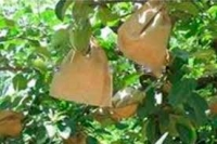 Bagging individual apples—standard practice for control of peach moth in China for several decades—is on the way out.