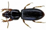 The unknown predators—Carabid or Ground beetles