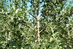 Spreading shoots  or branches of young apple trees