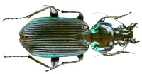 Carabid-or-Ground-beetle