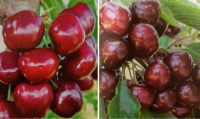 Two new US cherry varieties