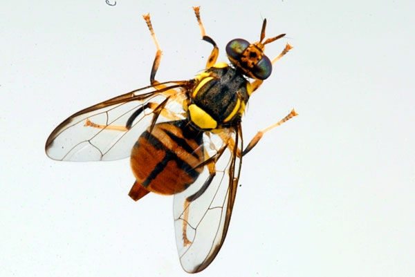 Another nasty: Oriental fruit fly