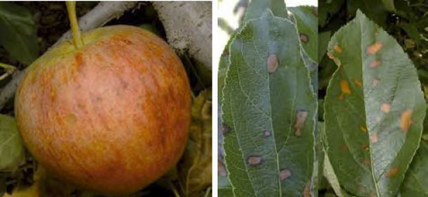 Manage Alternaria leaf blotch & fruit spot
