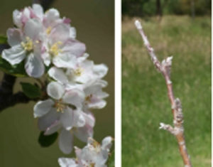 Control apple & cherry bud-break & flowering