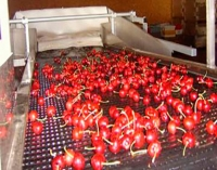Are smaller cherries related to climate shift?