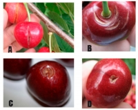 Types of cracking in cherries