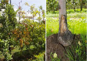 Phytophthora  root & collar rot
