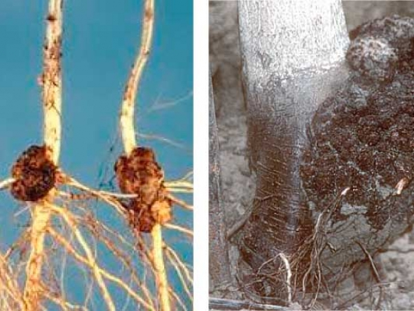 Crown gall—only one chance in 15 years to control this disease