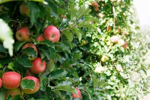 Nutrient balance—key to achieving fruit size potential
