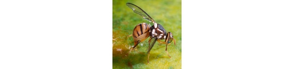 Another nasty: Oriental fruit fly (part 3)