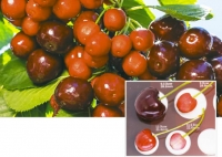 Little cherry disease—big problem for growers in North West USA