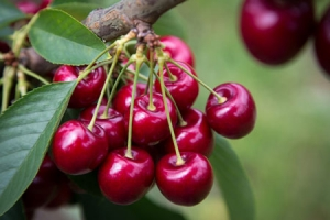 Research: nitrogen in cherry orchards