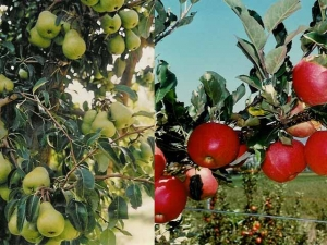 Keep apple/pear fruiting wood young & productive with the 1-2-3 rule of pruning