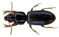 Carabids have real size, real mandibles, a real appetite, and are really tough