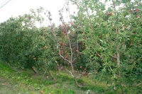 Keep Phytophthora out of your orchard