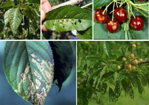 Spring/summer cherry diseases