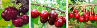 New cherries: bred in France, released in USA