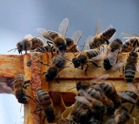 Link found between fungicides & bee decline (part 2)