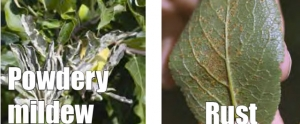 Winter orchard hygiene key to reducing disease